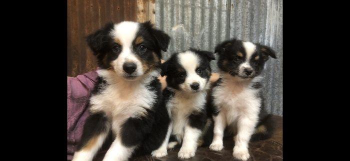 Toy Black Tri Male aussie puppy for sale