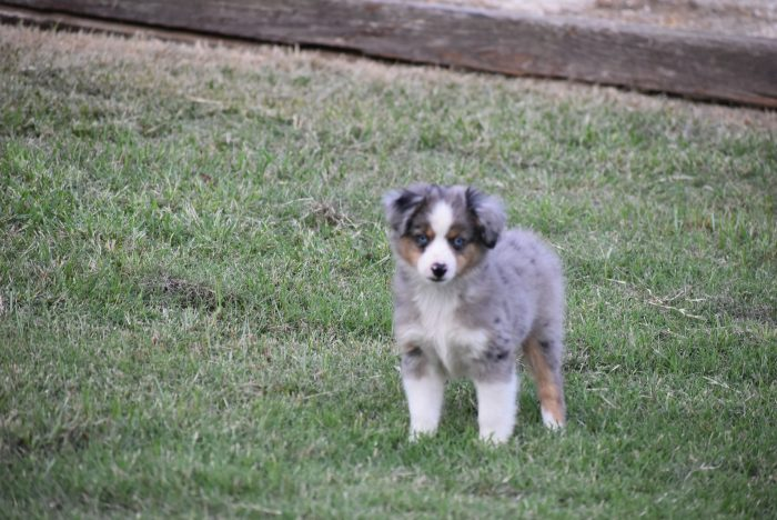 toy blue aussie merle male for sale