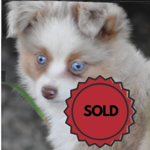 toy austrailan shepard blue merle puppies for sale
