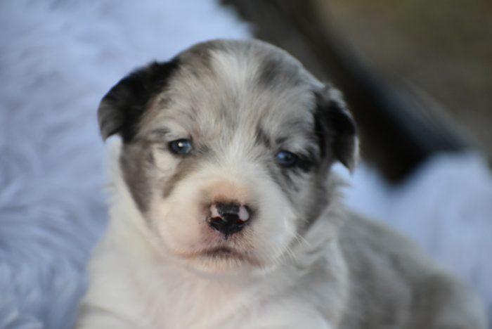 mini aussie puppies for sale