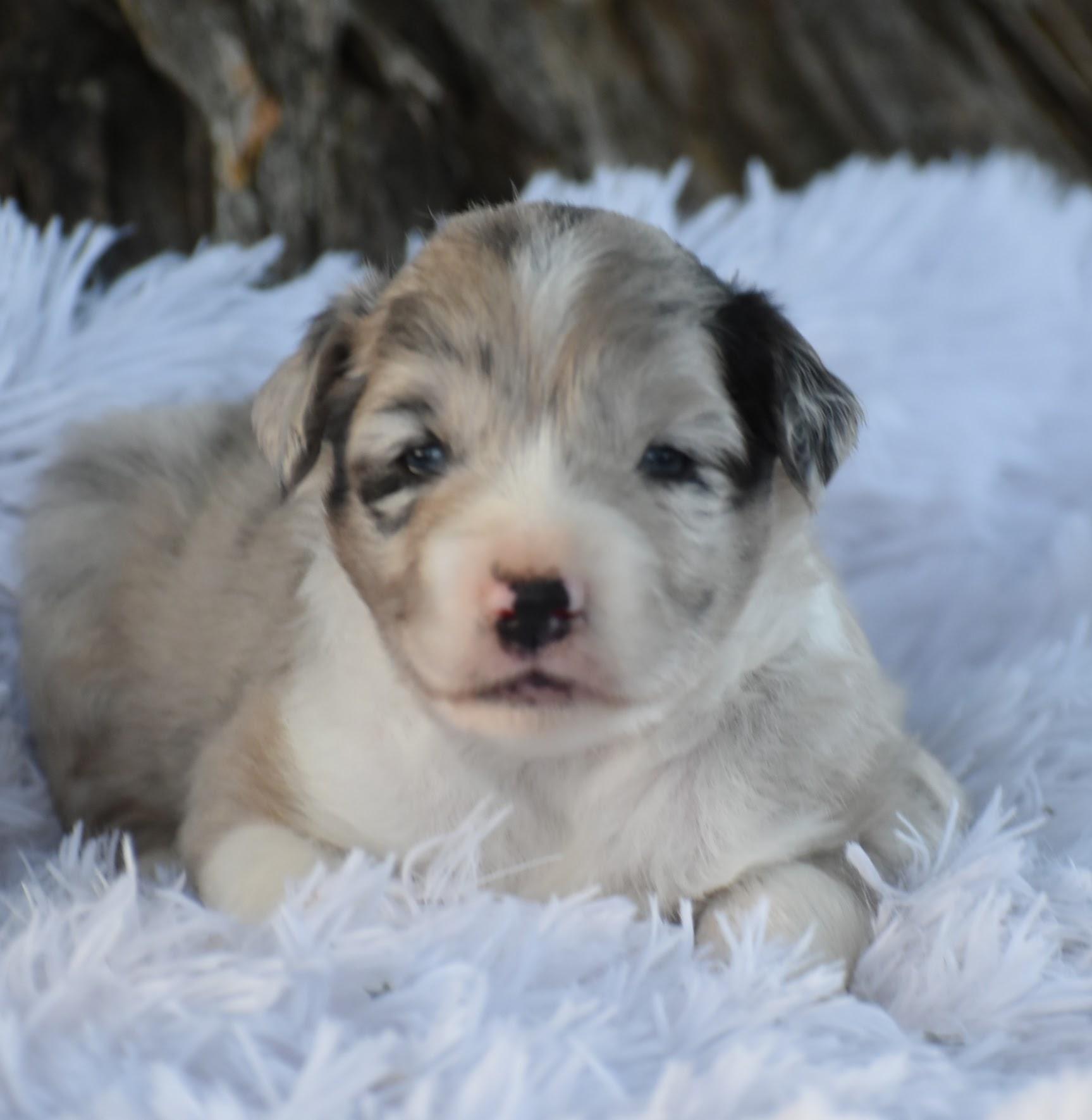 mini aussie blue merle puppies for sale